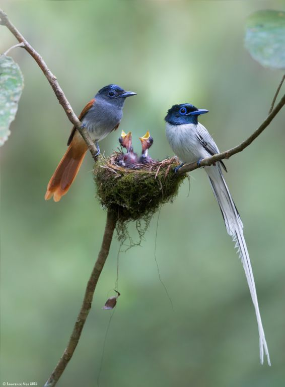 Asian Paradise Flycatchers
